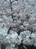 Japonais Cherry Blossom dans le Washington DC Photographie stock libre de droits