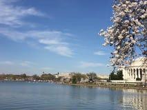 Japonais Cherry Blossom dans le Washington DC Image libre de droits