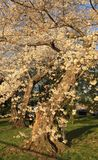 Japonais Cherry Blossom dans le Washington DC Photos stock