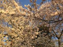 Japonais Cherry Blossom dans le Washington DC Images libres de droits