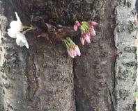 Japonais Cherry Blossom dans le Washington DC et la texture de tronc d'arbre Photos libres de droits