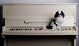 Japonais Chin sur le piano Image stock