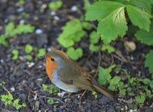 Japonais Robin Photo libre de droits