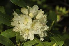 Japonais Snowbell en fleur Photographie stock libre de droits