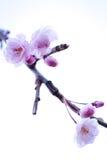 3 japoneses blancos Cherry Blossoms Imagen de archivo libre de regalías