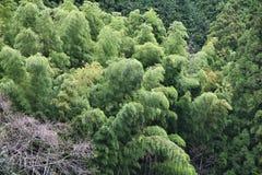 Japonia bambus Obraz Royalty Free
