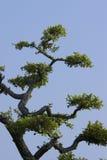 Japonia gałąź Zdjęcia Stock