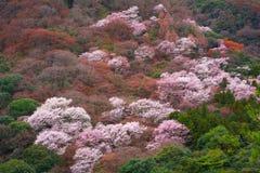 Japonia Kyoto Sakura Czereśniowego okwitnięcia wzgórza las Fotografia Royalty Free