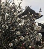 Japonia śliwki kwiaty Fotografia Royalty Free