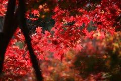 Japonia momiji Obraz Stock