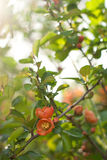 Japonia pigwa kwitnie Fotografia Stock