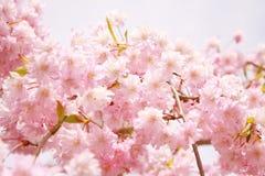 Japonia Sakura kwiat, wiosna przy Tokio Japonia Obraz Stock