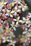 Japonica «Rubella» Skimmia Стоковая Фотография RF