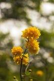 Japonica amarillo de Kerria del arbusto de las flores Imagen de archivo