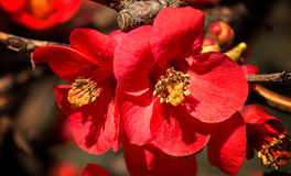 Japonica blossom. Macro on two japonica flowers Stock Images
