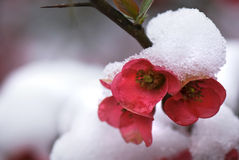 Japonica blossoms in snow Royalty Free Stock Image