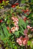 Japonica Chaenomeles ιαπωνικό κυδώνι Στοκ εικόνα με δικαίωμα ελεύθερης χρήσης