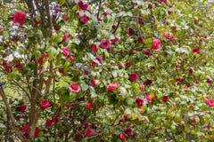 Japonica da camélia da flor Imagem de Stock Royalty Free