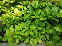 Japonica de Aucuba Imagem de Stock Royalty Free