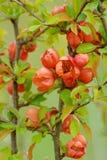 Japonica de florescência vermelho do Chaenomeles Imagem de Stock