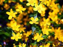 Japonica de Kerria - flores amarillas de la primavera Foto de archivo