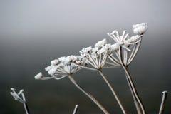 Japonica de Torilis Fotografía de archivo