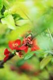 Japonica del Chaenomeles Fotografia Stock Libera da Diritti