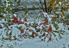 Japonica del Chaenomeles Arbusto floreciente debajo de la nieve Imágenes de archivo libres de regalías