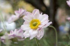 Japonica del hupehensis de la anémona, anémona japonesa, windflower del thimbleweed en la floración Imagen de archivo libre de regalías