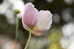 Japonica del hupehensis de la anémona, anémona japonesa, windflower del thimbleweed en la floración Fotos de archivo libres de regalías