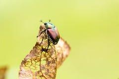 Japonica del Popillia del escarabajo japonés en la hoja Fotografía de archivo libre de regalías