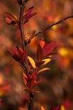 Japonica del Spiraea Imagen de archivo libre de regalías