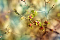Japonica di chaenomeles Fotografia Stock Libera da Diritti