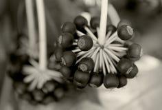 Japonica Fatsia, Paperplant стоковое изображение rf