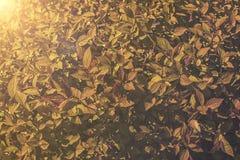 Закройте вверх на japonica Goldflame Spiraea Стоковые Фотографии RF