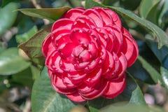 Japonica kameliablomma Royaltyfri Fotografi