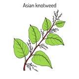 Japonica knotweed asiático, o japonés de Fallopia, planta medicinal libre illustration