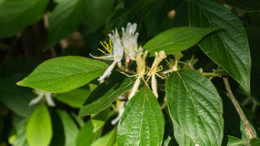 Japonica Lonicera †японского каприфолия « Стоковое фото RF