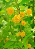 Japonica ή Pleniflora Kerria Στοκ Φωτογραφίες