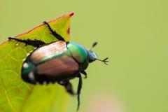 Japonica Popillia японского жука на лист Стоковые Изображения RF