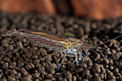 Japonica shrimp Royalty Free Stock Photo