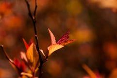 Japonica Spiraea Стоковые Изображения