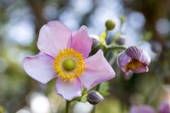 Japonica van anemoonhupehensis, Japanse anemoon, thimbleweed windflower in bloei royalty-vrije stock foto's