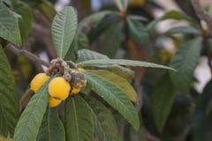 Japonica van loquateriobotrya is species van bloeiende installatie in de familie Rosaceae, een inwoner aan de koelere heuvel royalty-vrije stock foto's