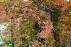 Japonicum caucásico decorativo de Acer del arce rojo en el PA de la colina foto de archivo libre de regalías
