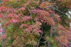 Japonicum caucásico decorativo de Acer del arce rojo del primer en las FO fotografía de archivo libre de regalías