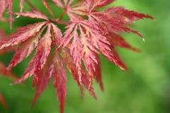 Japonicum de Acer Imagen de archivo libre de regalías