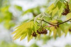 Japonicum de Acer Uma espécie de nativo do bordo a Japão Foto de Stock Royalty Free