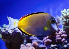 Japonicus fisk Arkivbild