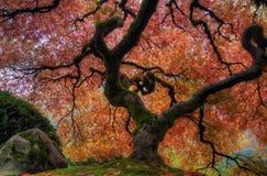 japoński klonowy drzewo Obrazy Royalty Free
